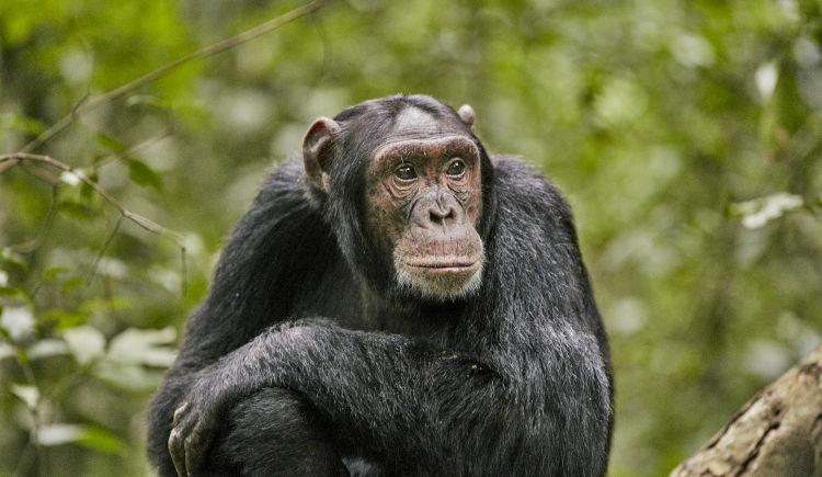 Chimpanzes Kibale