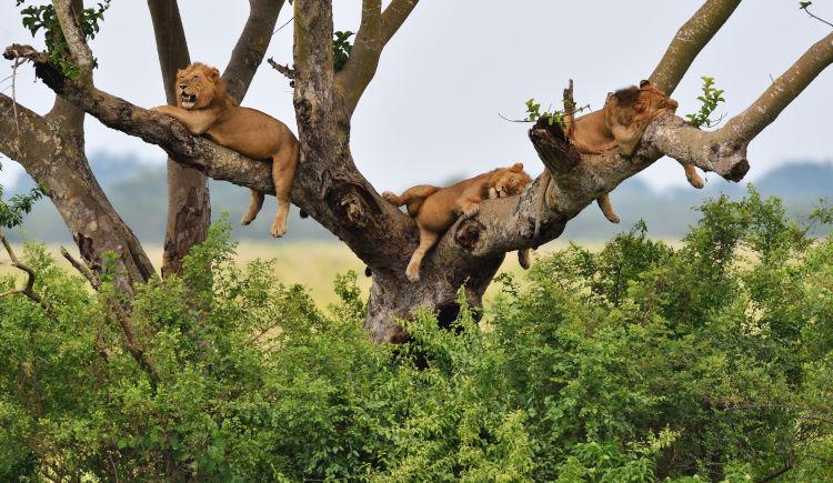 Lions Ishaha