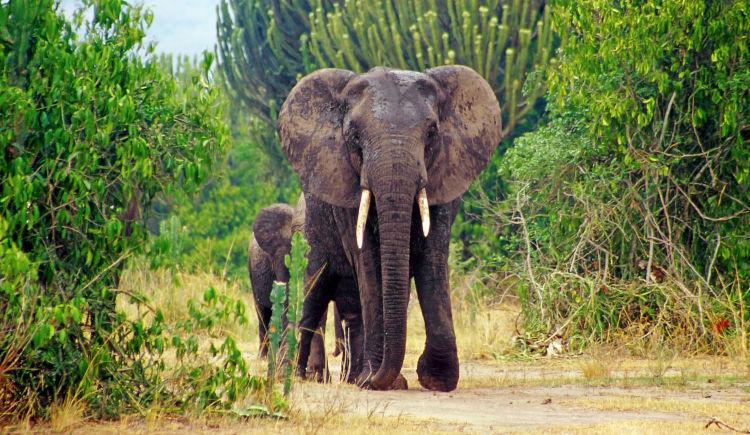Elephants Qeen Elizabeth