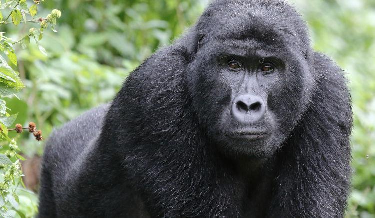 Gorille Bwindi