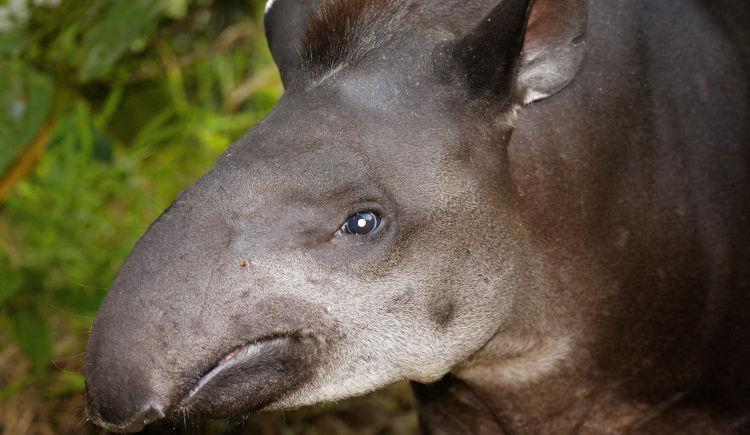 tapir Yasuni